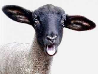 Gard electric pentru oi