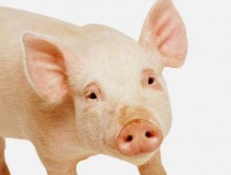 Gard electric porci
